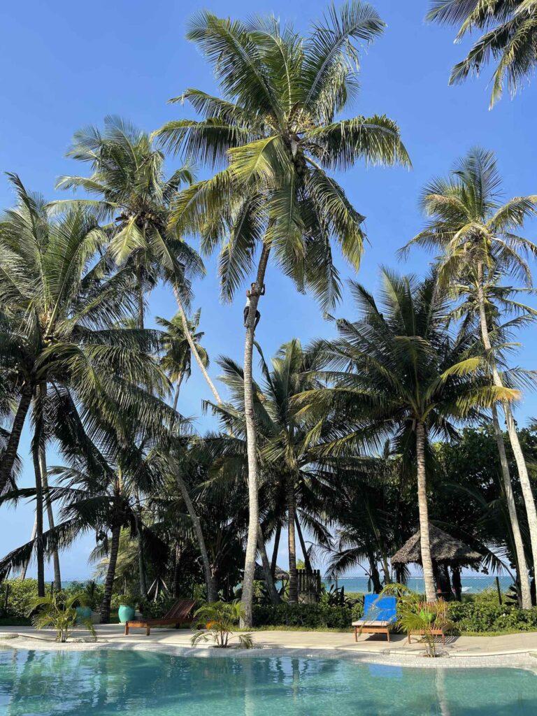 A man climbs a coconut tree near the beach on the Kenyan coast.